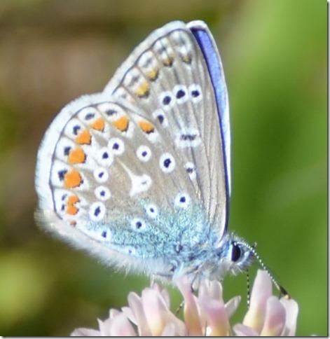 Blue Butterfly 10