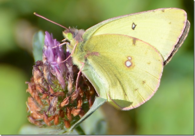 Yellow Butterfly 14
