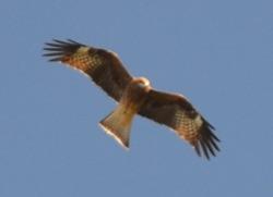 A hawk flying overhead at the Ginkakuji Shrine